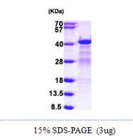 AR09905PU-N - hnRNP-C1/C2 / HNRNPC