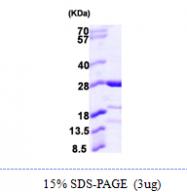 AR09919PU-L - Calcyphosin-like protein / CAPSL