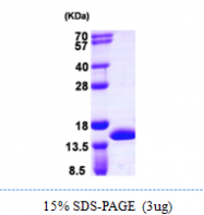 AR09923PU-L - Cystatin-A