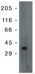 AM05278PU-N - TP53I3