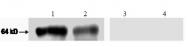 AM31485AF-N - Glypican-1 / GPC1
