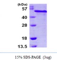 AR09936PU-L - Reticulocalbin-2 / RCN2