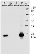 AM26114PU-N - HPV11 E7 Protein