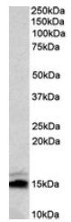 AP23700PU-N - Neurogranin