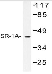 AP06769PU-N - Serotonin receptor 1A (HTR1A)