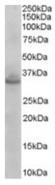 AP16400PU-N - Syntaxin 1A / 1B (STX1A / STX1B)