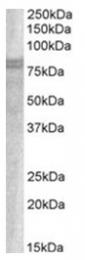 AP31413PU-N - Sorting nexin-18 (SNX18)