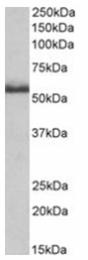 AP31402PU-N - CD120b / TNFR2