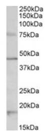 AP31408PU-N - Serotonin receptor 1A (HTR1A)