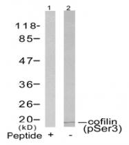 AP02426PU-S - Cofilin-1