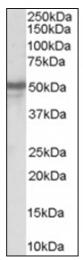 AP16374PU-N - NPY Receptor 5 / NPY5R