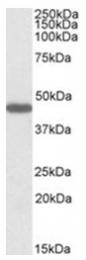AP23699PU-N - GPR73b / Prokineticin receptor 2