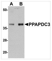 AP26332PU-N - PPAPDC3