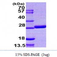 AR09980PU-L - Glutaredoxin-2 / GLRX2