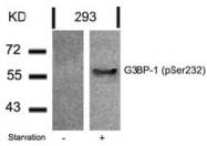 AP02380PU-S - G3BP1 / G3BP