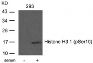 AP02460PU-S - Histone H3.1