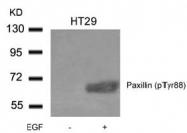 AP09486PU-N - Paxillin /  PXN