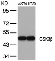 AP02546PU-S - GSK3 beta