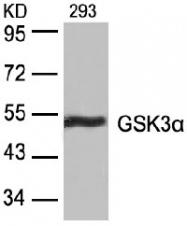 AP02551PU-S - GSK3 alpha