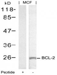 AP02601PU-S - Bcl-2