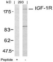 AP02620PU-S - CD221 / IGF1R