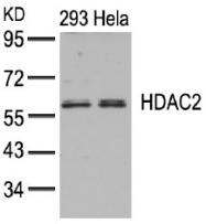 AP02667PU-N - HDAC2