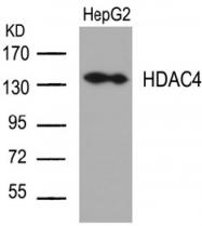 AP02668PU-S - HDAC4