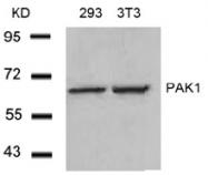 AP02681PU-S - PAK1