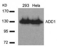 AP02702PU-S - Alpha-Adducin / ADD1