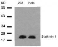 AP02726PU-S - Stathmin / STMN1