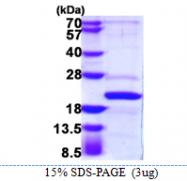 AR39026PU-L - AP1 complex subunit sigma-2 / AP1S2