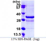 AR39031PU-N - Synaptotagmin-1