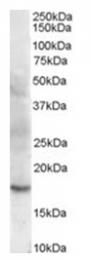 AP16401PU-N - Cofilin-2
