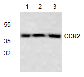 AP26344PU-N - CD192 / CCR2
