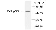 AP06237PU-N - c-Myc