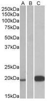 AP31556PU-N - Urocortin-3 (UCN3)