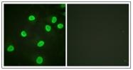 AP31625PU-N - Histone H4
