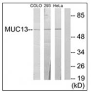 AP31624PU-N - Mucin-13