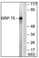 AP31621PU-N - Grp75 / HSPA9