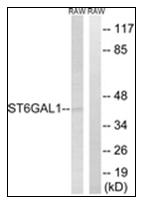 AP31619PU-N - CD75 / ST6GAL1