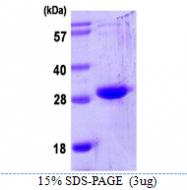 AR39063PU-L - Oncostatin-M