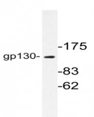 AP06506PU-N - CD130 / IL6ST
