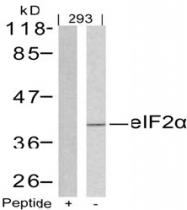 AP02770PU-S - EIF2A / EIF2S1