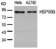 AP02783PU-S - HSP90AB1 / HSP90 beta