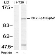 AP02785PU-S - NFKB2 / NF-kappa-B p100/p52