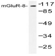 AP06143PU-N - mGluR8 / GRM8