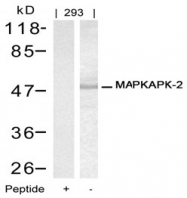 AP02791PU-N - MAPKAP Kinase-2
