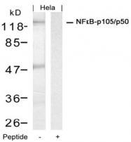 AP08069PU-N - NF-kB p105 / p50