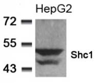 AP02793PU-S - SHC1 / SHC