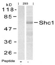 AP02794PU-S - SHC1 / SHC